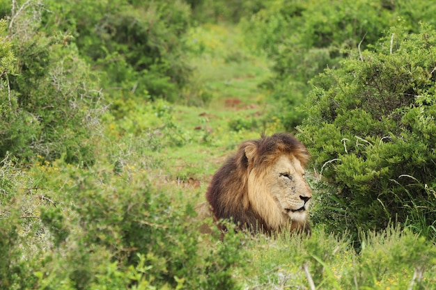 Pelziger löwe, der tagsüber im addo-elefanten-nationalpark geht