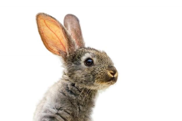 Pelziges niedliches kaninchen auf weiß lokalisiert