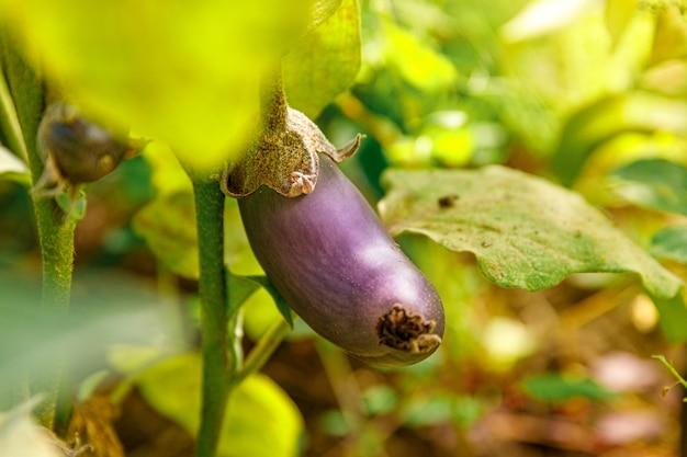 Perfekte lila frische reife bio-aubergine bereit zur ernte auf zweig im garten