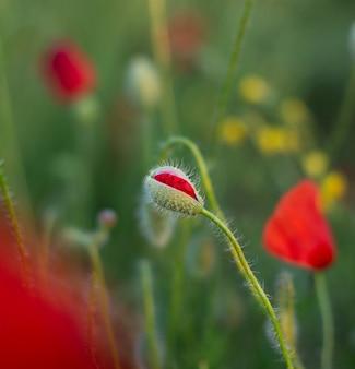 Perfekte rote mohnblumenknospenblume auf dem mohnblumengebiet auf dem grünen blumen