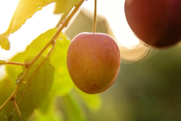 Perfekte rote pflaume, die auf baum im organischen pflaumenobstgarten wächst. herbstherbstansicht auf garten im landhausstil. veganes vegetarisches baby-diätkonzept der gesunden nahrung. der örtliche garten produziert sauberes essen.