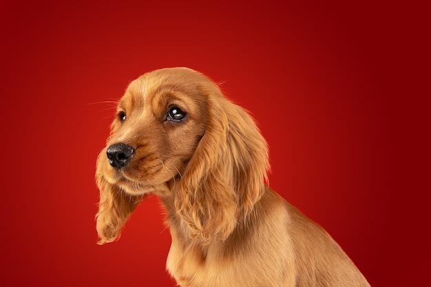 Perfekter begleiter für unterwegs. englischer cocker spaniel junger hund posiert. süßes verspieltes braunes hündchen oder haustier sitzt voller aufmerksamkeit einzeln auf rotem hintergrund. konzept der bewegung, aktion, bewegung.