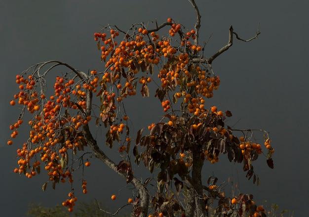 Persimmon tree hing mit orangenfrüchten saftige frucht auf dem hintergrund des bewölkten himmels
