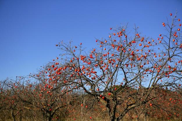 Persimon-baumfeld mit klarem fruis