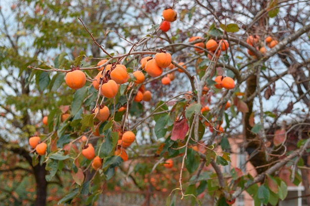 Persimonebaum mit vielen persimonen im herbst.