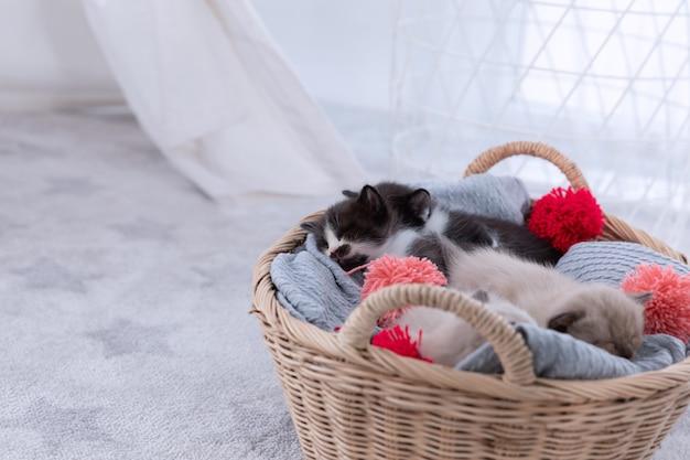 Persische kätzchen der gruppe schlafen auf korb.