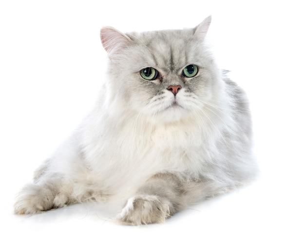 Persische katze