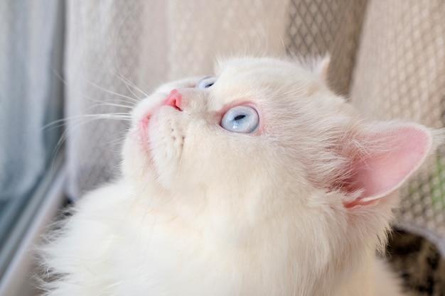 Persische puppe gesicht chinchilla weiße katze flauschiges süßes haustier mit blauen augen
