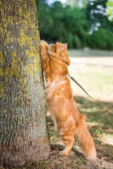 Persische rote katze schärft ihre krallen gegen den baum