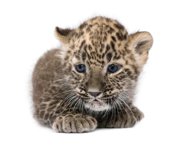 Persischer leopardjunge auf weiß lokalisiert