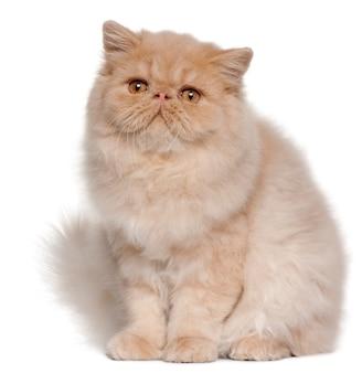 Persisches kätzchen (4 monate alt), perser (5 monate alt)