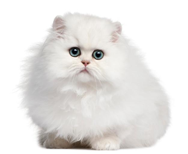 Persisches kätzchen, 4 monate alt,