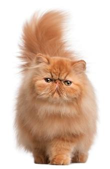 Persisches kätzchen, 6 monate alt,