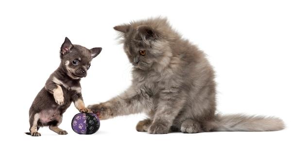 Persisches kätzchen und chihuahua-welpe spielen mit einem ball - isoliert auf weiß