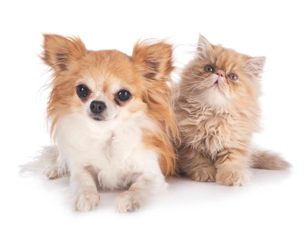 Persisches kätzchen und chihuahua