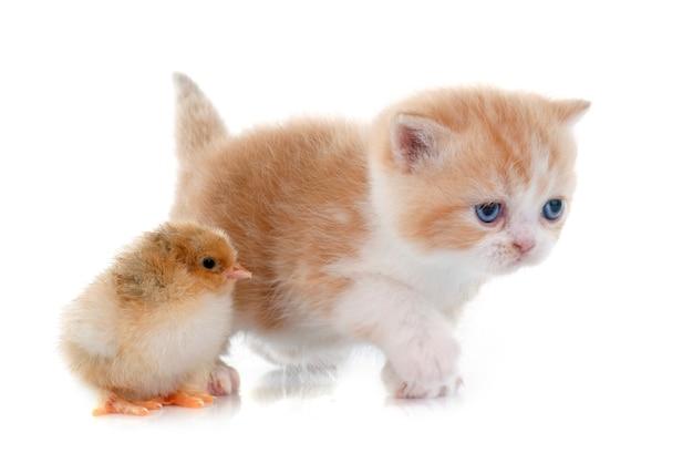 Persisches kätzchen und küken