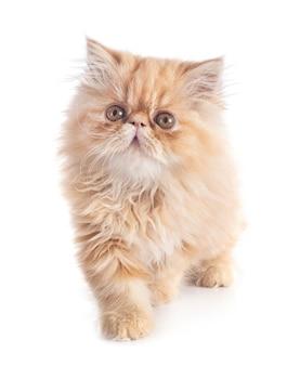 Persisches kätzchen