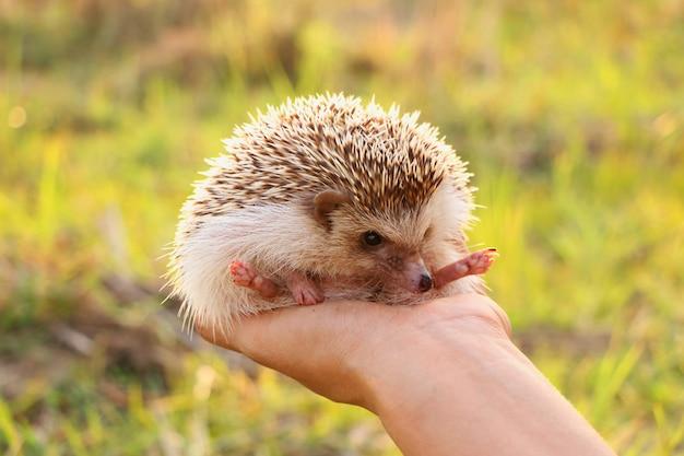 Person, die nettes igeles in der hand erschrockenes stacheliges säugetier hält