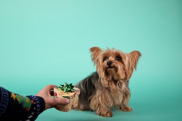 Person gibt einem yorkshire-hund ein geschenk