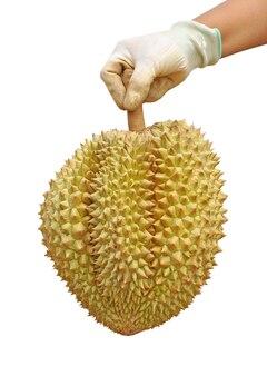 Person mit handschuhen, die einen durian auf weiß halten