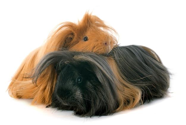 Peruanische meerschweinchen