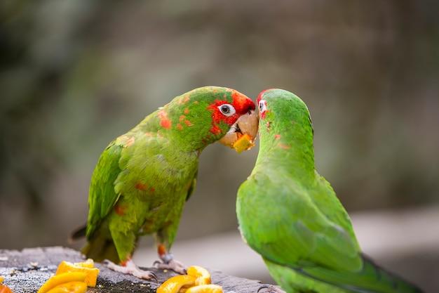 Peruanische papageien in yungas