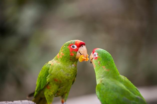 Peruanischer bunter papagei in der natur