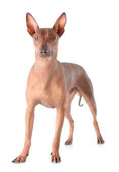Peruanischer hund