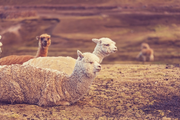 Peruanisches alpaka in den anden