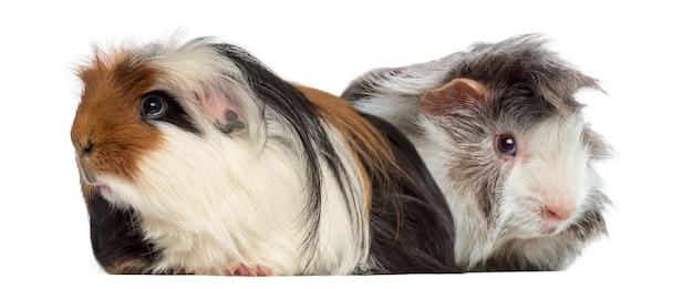 Peruanisches meerschweinchen und meerschweinchen isoliert auf weiß