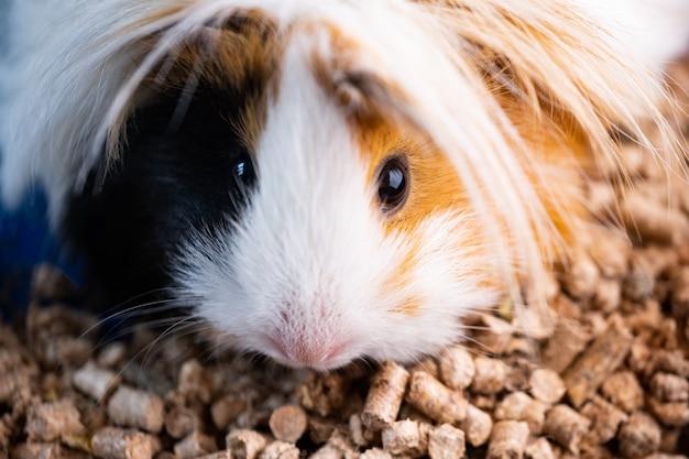 Peruanisches meerschweinchen Premium Fotos