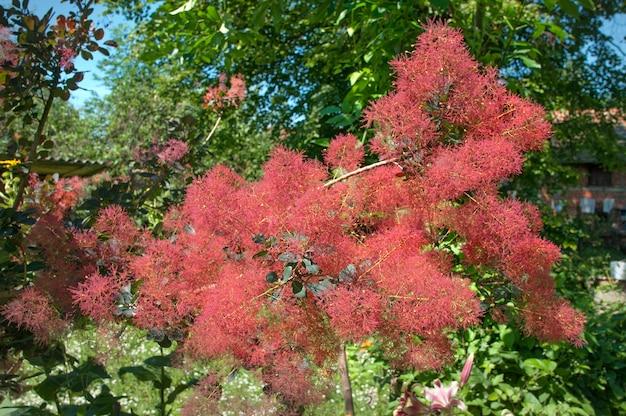 Perückenbaum in blüte.