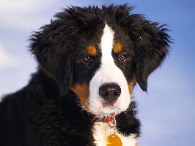 Pet berner hunde-welpen-hund berg