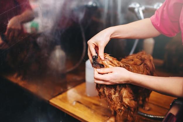 Pet groomer hände, arbeiten mit kleinen hund, welpen waschen im pflegesalon. professioneller bräutigam und frisur für haustiere