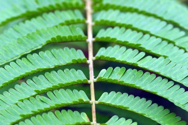Pete blätter, ein in indonesien gebräuchlicher name für parkia speciosa blätter