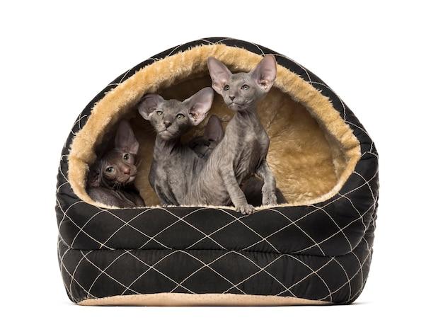 Peterbald katzen in einem haustierkorb