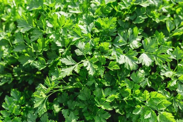 Petersilie im bauerngarten für lebensmittel oder medikamente. gute grüne bio-petersilienpflanzen wachsen auf offenem boden.