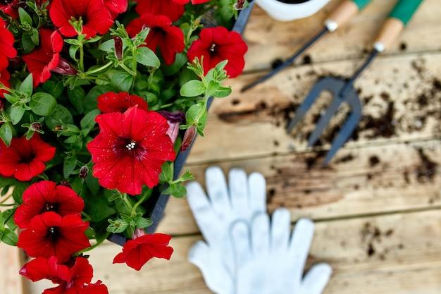 Petunienblumen und gartengeräte auf hölzernem hintergrund