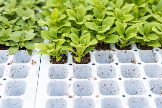 Petuniensämlinge, die für die wiederbepflanzung in töpfe vorbereitet wurden