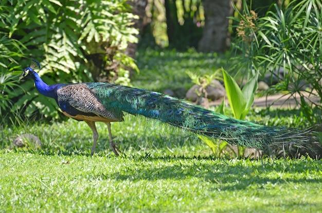 Pfau in einem tropischen park auf einer grünen graswiese.