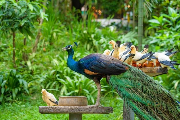 Pfau und tauben fressen von einem vogelhäuschen in einem vogelpark. vögel beobachten
