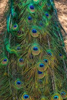Pfau zeigt seine verlängerten schwanzfedern. pfauenfederwand. pfauenfedern-nahaufnahme