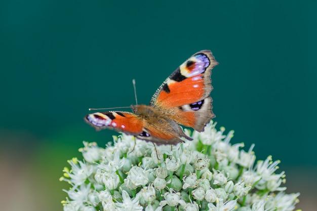 Pfauaugenschmetterling, der auf lauchblume sitzt