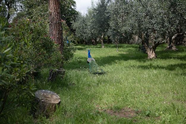 Pfauen gehen im frühlingsgrünen garten spazieren