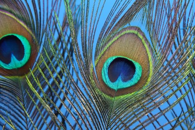Pfauenfedern auf blauem hintergrund
