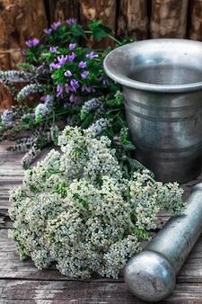 Pfefferminz ist mehrjährige krautige pflanze