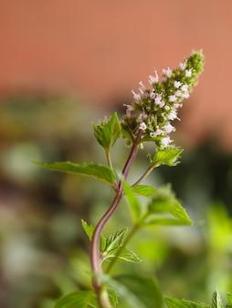 Pfefferminz (mentha piperita) pflanze