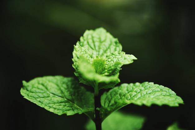 Pfefferminzblatt im garten frische minzeblätter in den grünen kräutern oder im gemüse einer natur