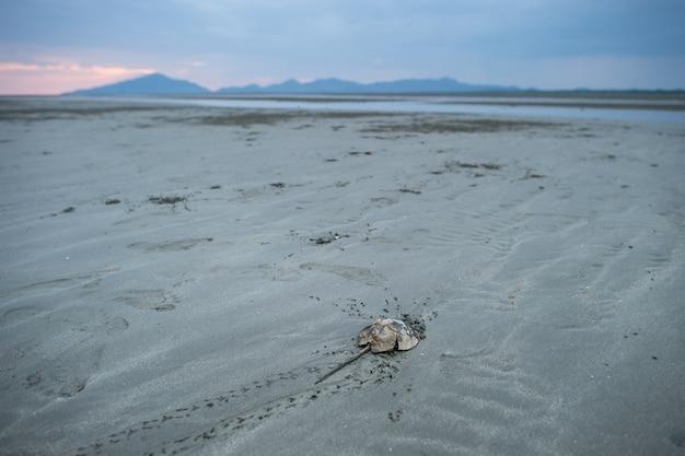 Pfeilschwanzkrebs am sandstrand