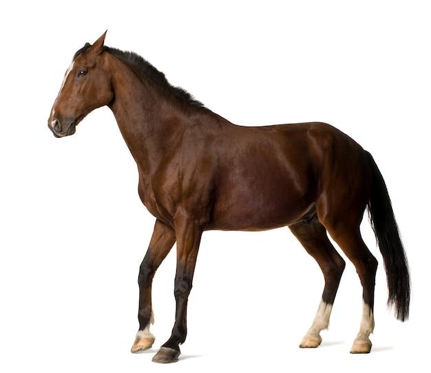 Pferd auf weiß